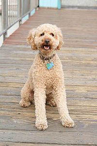 curly labradoodle