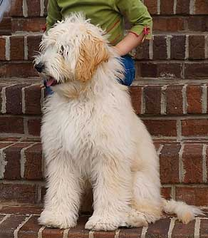 gezocht sint bernard pup